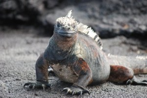 One of the Galapagos' most handsome gentlemen. Photo by Catharine Norton