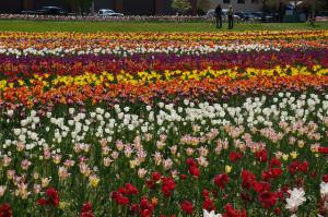 Dutch tulips: better than cave biking. Photo by Rachel Kramer on flickr.